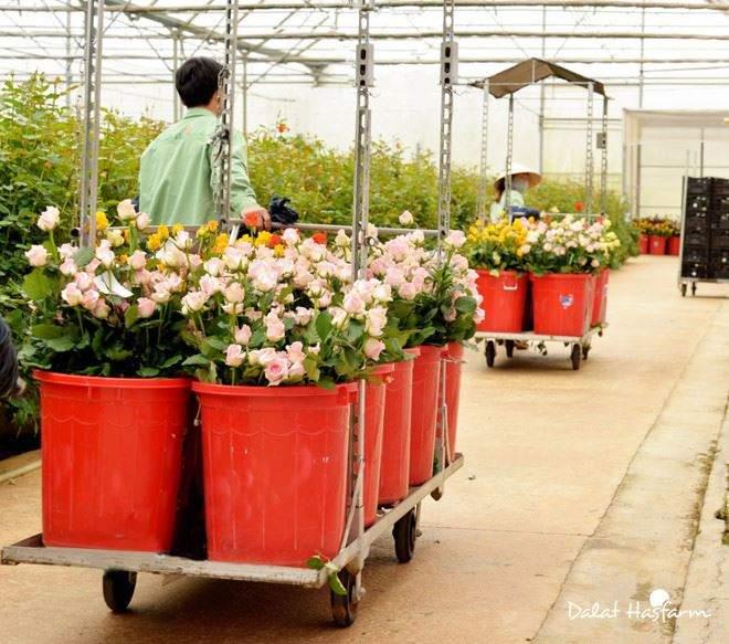 Hoa Hasfarm 3