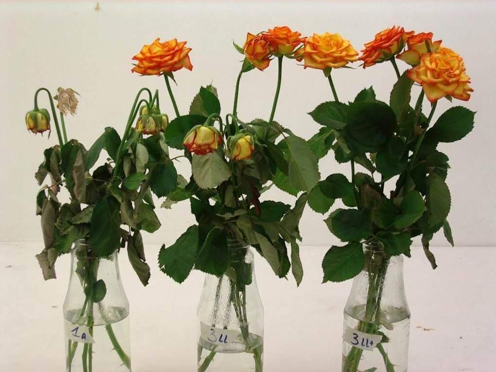 Thu nghiem xu ly hoa hong